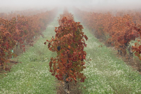 Les vignes dans la brume automnale