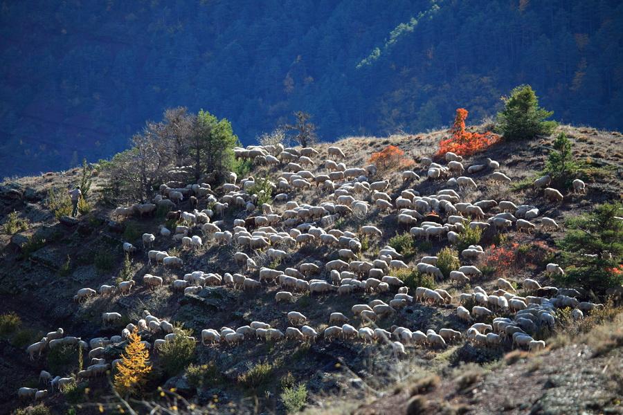 Troupeau au sommet des Gorges de Daluis