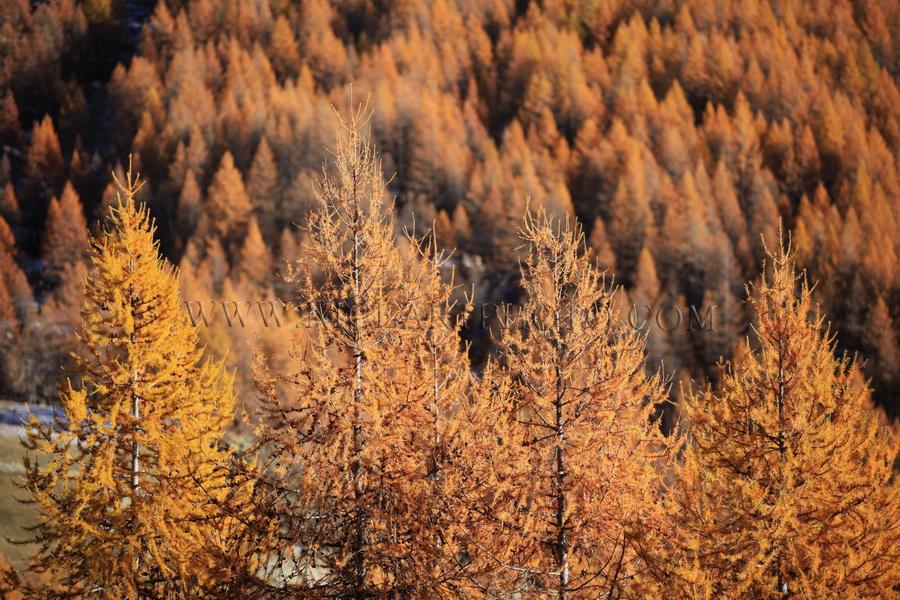 vallee du haut var foret de sapins automne