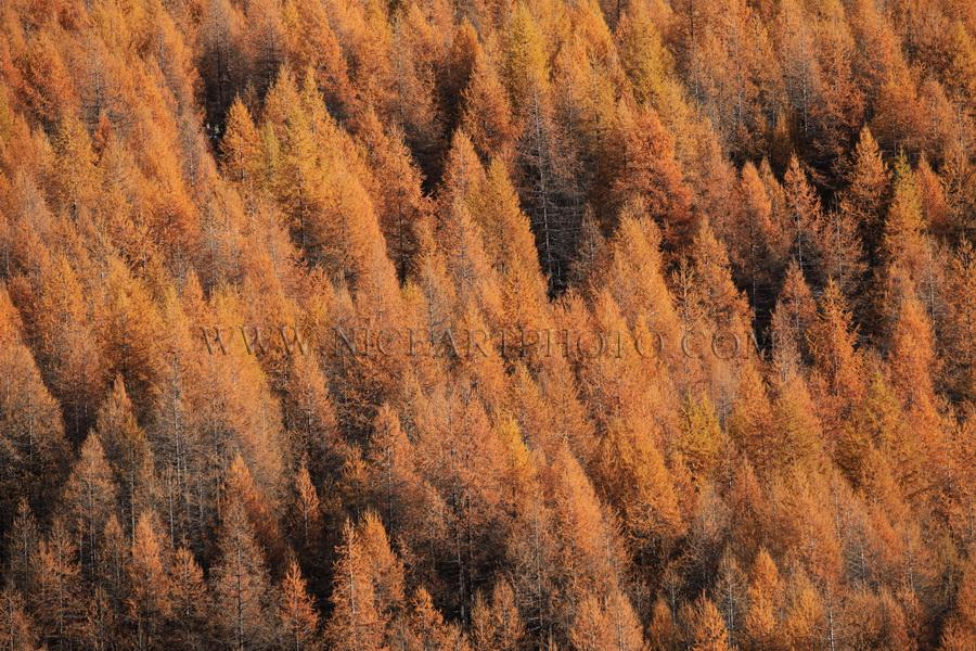 vallee du haut var foret de sapin en automne