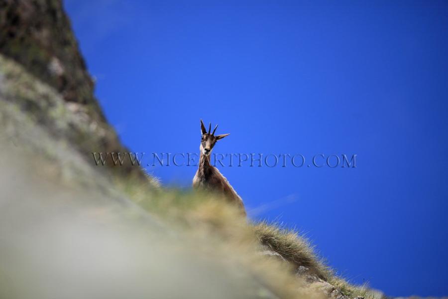 chamois massif du Mercantour